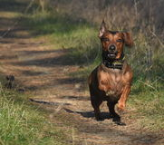 Little dachshund. Little running dachshund in a forest path Royalty Free Stock Photo