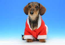 Little dachshund in the Santa's coat. On the blue background Stock Photos