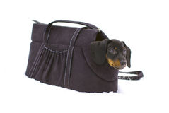 Little dachshund sitting in bag for dogs Royalty Free Stock Photos