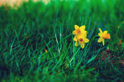 Little daffodils. Springtime flowers blooming; daffodils in the grass Stock Images