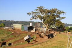 Australia, Queensland: Little Dairy Farm Stock Photo