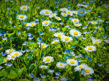 Little daisies as background Stock Photo