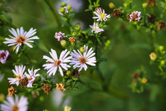 Little daisies grow Royalty Free Stock Photo