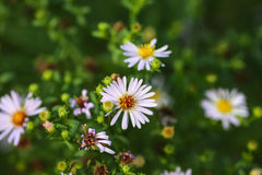 Little daisies grow Royalty Free Stock Image
