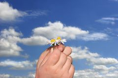 Little Daisies in Little Hands Stock Image