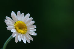 Little daisy Royalty Free Stock Photo