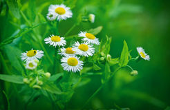 Little daisy Royalty Free Stock Photography