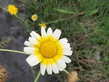 Little daisy, big warm. stock photography