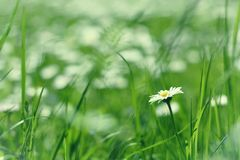 Little daisy flower in green grass Stock Image