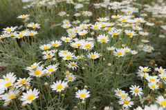Little Daisy flowers blowing in the wind motion blur at garden. Royalty Free Stock Photos