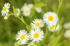 Little daisy flowers in nature Royalty Free Stock Photos