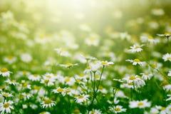 Little daisy in the garden stock photos