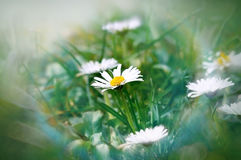 Little daisy in grass Royalty Free Stock Images