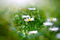 Little daisy in grass Stock Photography