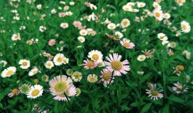 Little daisy Stock Images