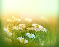 Little daisy Stock Photography