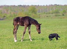 Little dark-bay foal and dog Stock Image