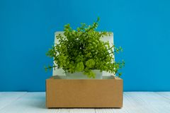 Little decoration tree growing in package brown cardboard box or tray on bright white wooden table with blue wall background. copy stock photos