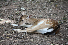 Little deer Royalty Free Stock Images