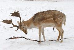 Little deer Stock Images