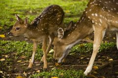 Little deer. Little baby deer in Bogor, Indonesia Stock Image