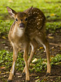 Little deer. Little baby deer in Bogor, Indonesia Stock Photo
