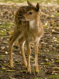 Little deer. Little baby deer in Bogor, Indonesia Royalty Free Stock Photography