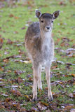 Little deer Royalty Free Stock Photo