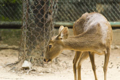 Little deer in a cage. The little deer in a cage waits when people feed him Royalty Free Stock Photography