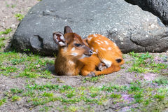 The little deer Stock Photography