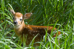 Little deer. Looking up from its hiding place Royalty Free Stock Photos