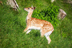 Little deer..maybe bamby? Royalty Free Stock Photography