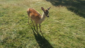 Little deer on a meadow Royalty Free Stock Photo