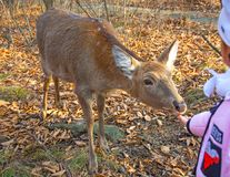 Little deer in the outdoor Park, feed the children, a deer takes food out of the hands of children. On a sunny day Royalty Free Stock Image