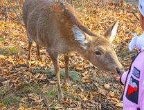 Little deer in the outdoor Park, feed the children, a deer takes food out of the hands of children. On a sunny day Stock Photography