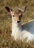Little deer Royalty Free Stock Photos