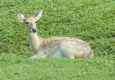 Little deer relaxing on the glass Royalty Free Stock Image