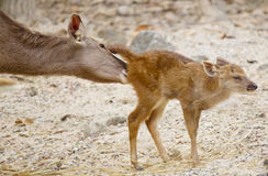 Little deer with take care from his mom Royalty Free Stock Images
