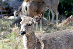 Little deer. In Yosemite park stock photos