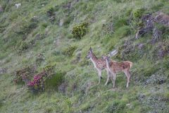 Little deers together on the alps. In a grass royalty free stock photo