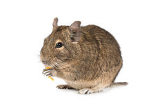 Little Degu isolated on a white background Royalty Free Stock Photos