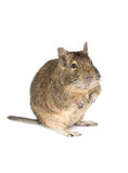Little degu isolated on a white background Royalty Free Stock Photo