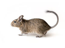 Little Degu squirrel, isolated, closeup. Little adorable Degu squirrel as a pet, sitting on a surface, isolated, closeup Royalty Free Stock Photo