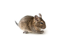 Little Degu squirrel, isolated, closeup Royalty Free Stock Images