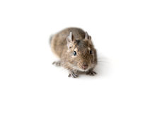 Little Degu squirrel, isolated, closeup Stock Photography
