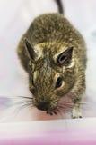 Little degu squirrel Stock Photos