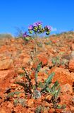 Little Desert Flower - Scorpion Weed Stock Image
