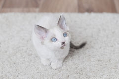 Little devon rex kitten Stock Photos