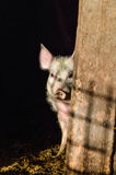 Little dirty curious piglet hiding in the shadow. Closeup stock image