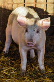 Little dirty curious piglet staring in the shadow. Close up Stock Photos